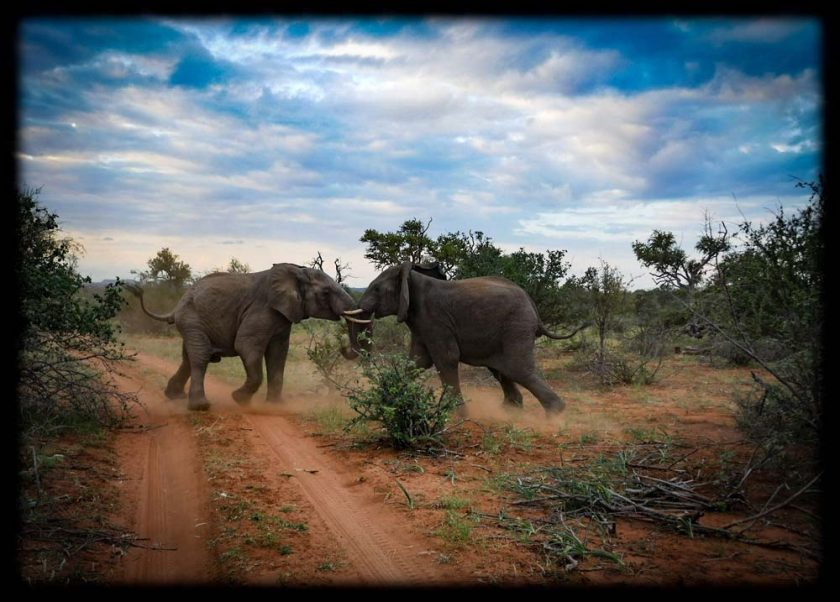 Elephants in Balule Private Game Reserve,